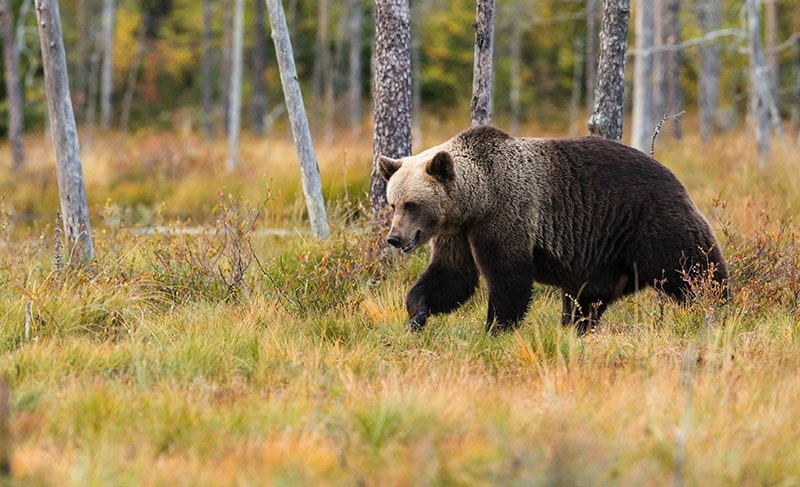 A brown bear walking in the forest